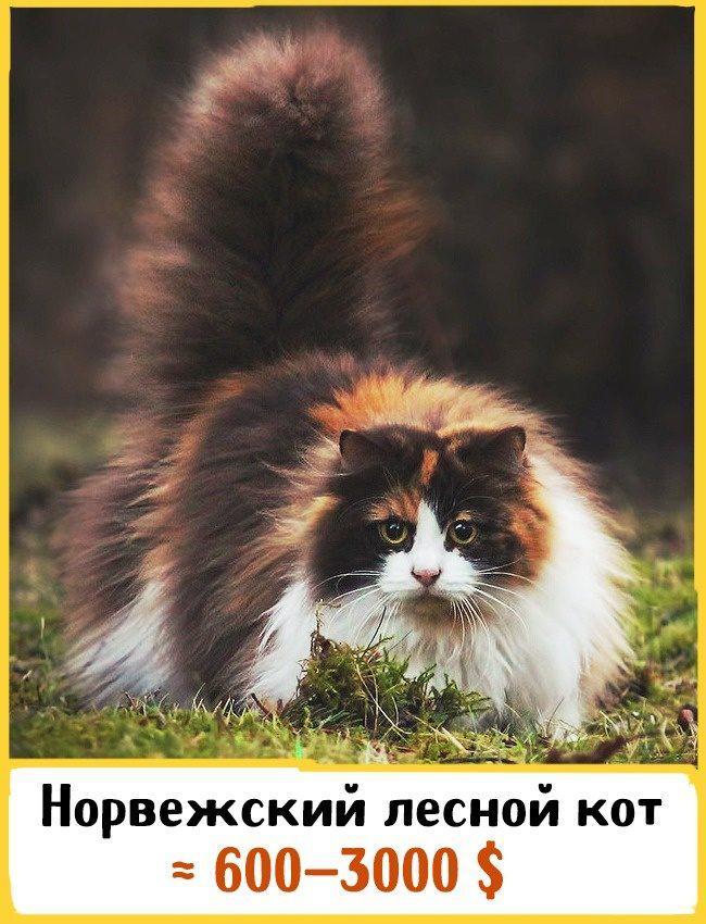 20 самых дорогих кошек в мире! | 1
