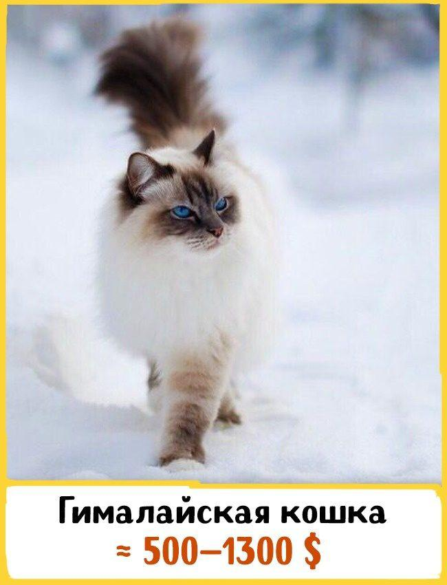 20 самых дорогих кошек в мире! | 2