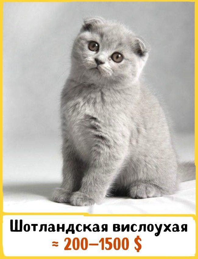 20 самых дорогих кошек в мире! | 3