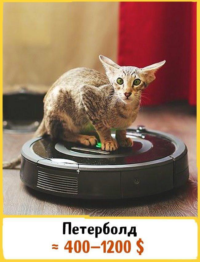 20 самых дорогих кошек в мире! | 4