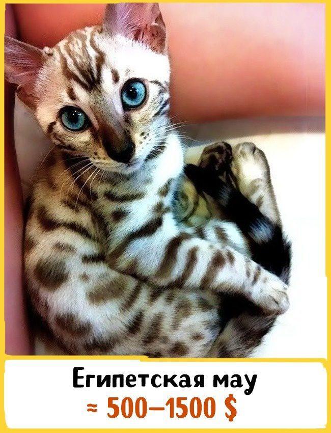 20 самых дорогих кошек в мире! | 5