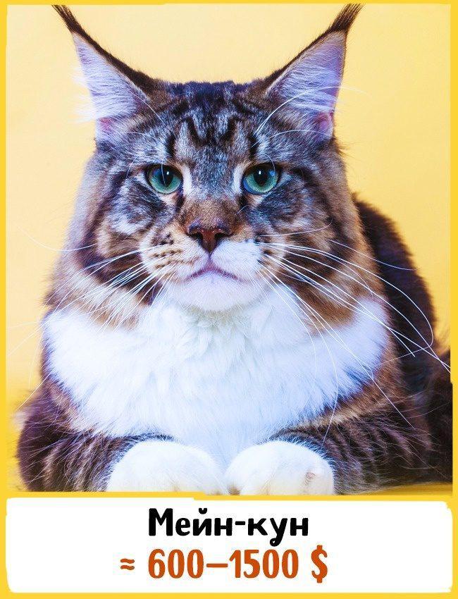 20 самых дорогих кошек в мире! | 6