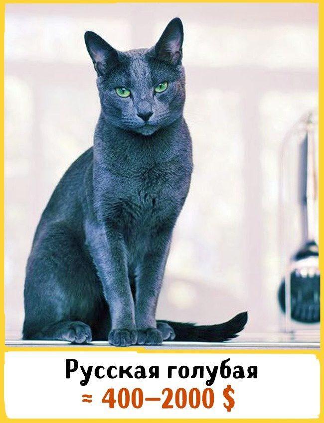 20 самых дорогих кошек в мире! | 8