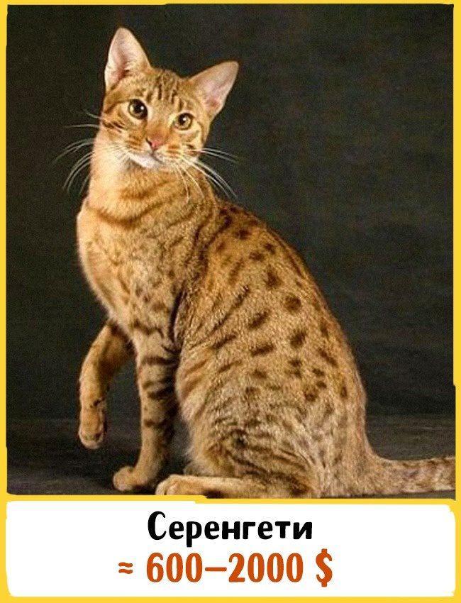 20 самых дорогих кошек в мире! | 9