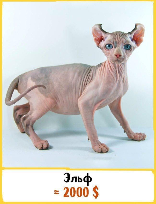 20 самых дорогих кошек в мире! | 10