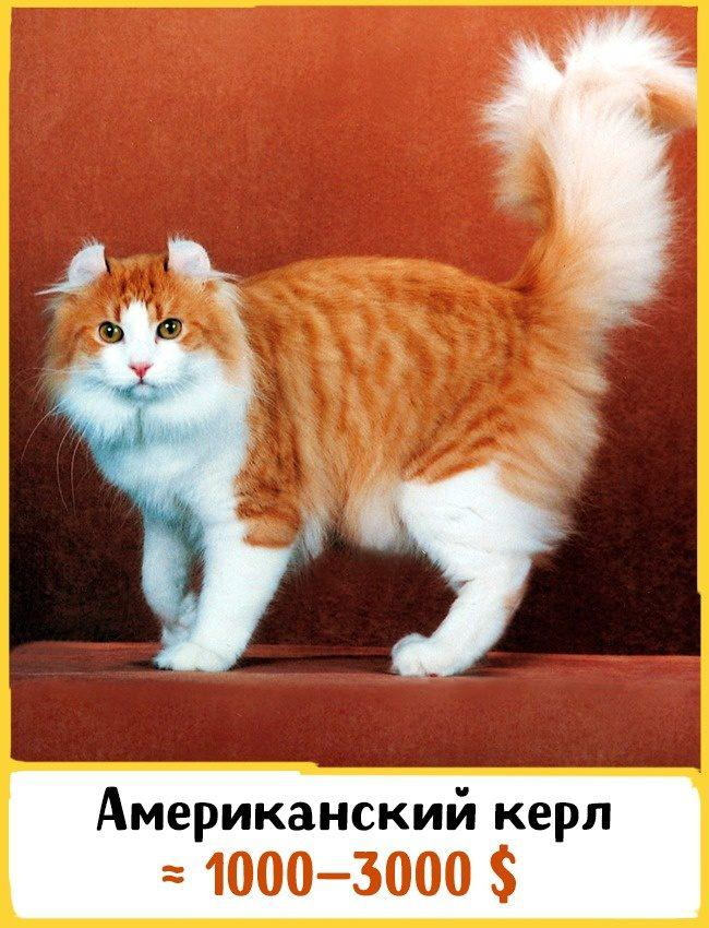 20 самых дорогих кошек в мире! | 12
