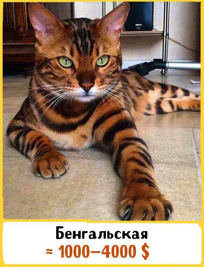 20 самых дорогих кошек в мире! | 13