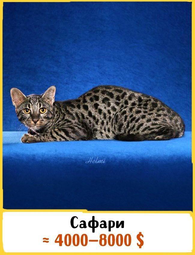 20 самых дорогих кошек в мире! | 14