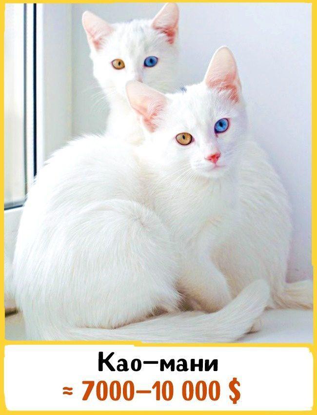 20 самых дорогих кошек в мире! | 15
