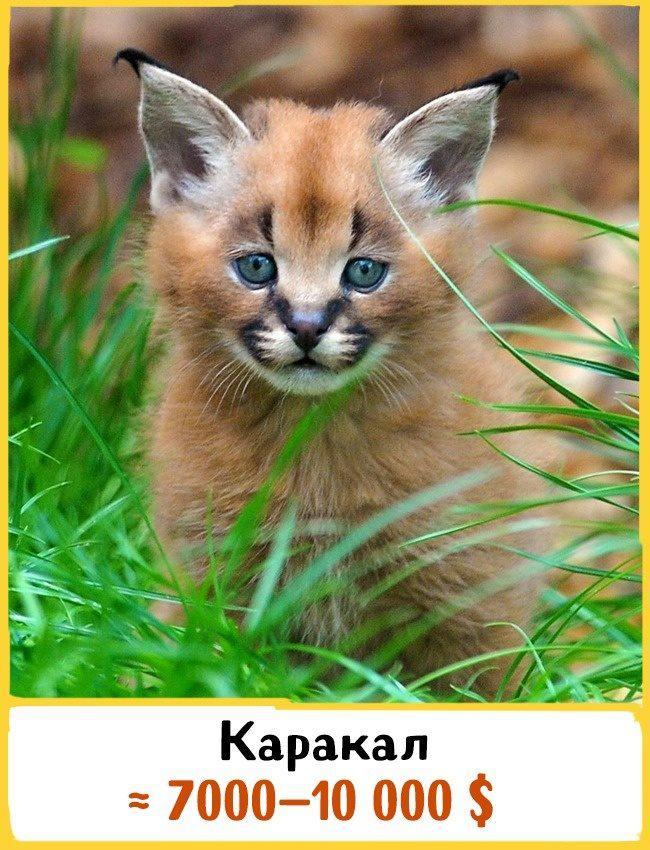 20 самых дорогих кошек в мире! | 17