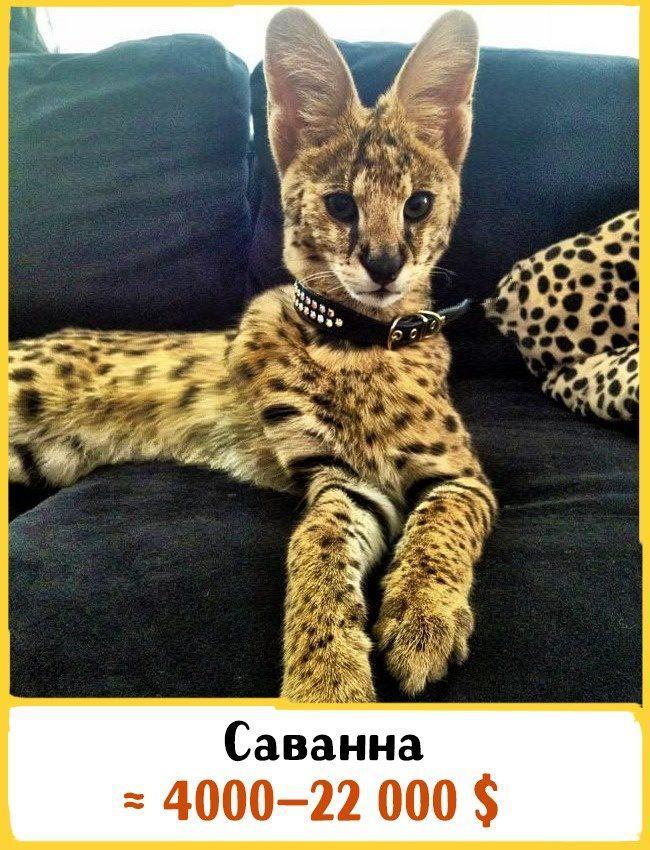 20 самых дорогих кошек в мире! | 18