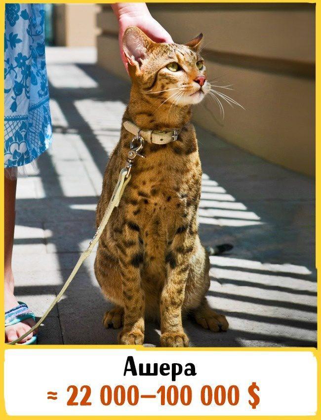 20 самых дорогих кошек в мире! | 19