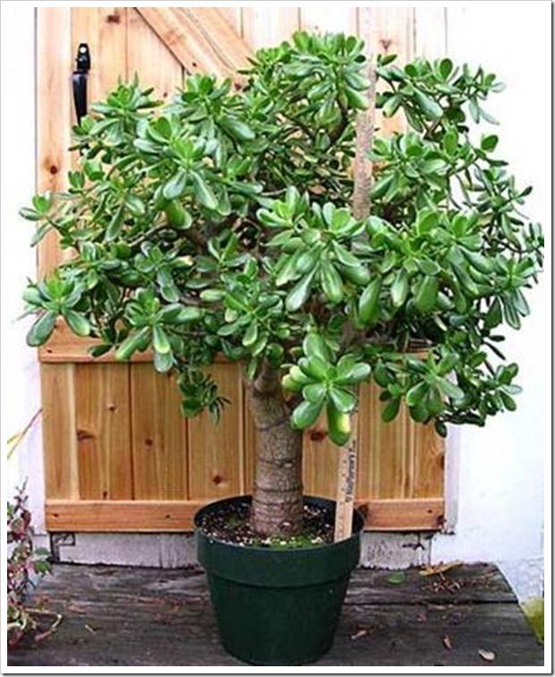У каждого есть это растение, но не все знают о его ЛЕЧЕБНЫХ свойствах!