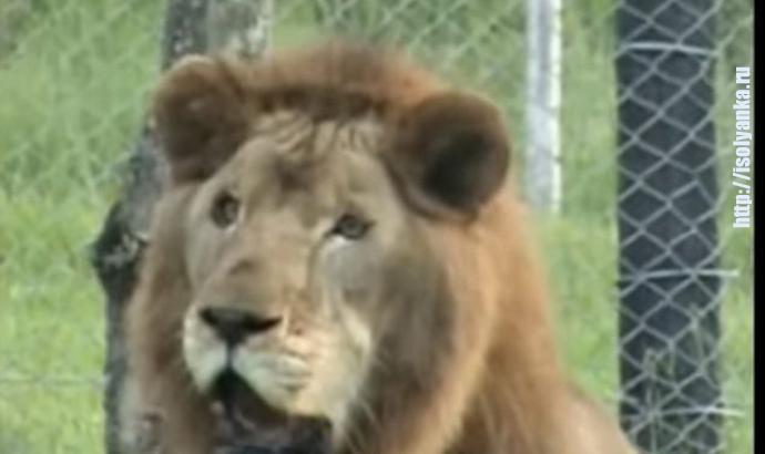 Лев, проживший 13 лет в цирке впервые увидел траву... Тронуло до слез! | 1