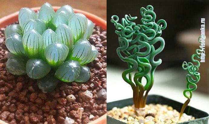 12 необычных комнатных растений, о которых ты узнаешь впервые! | 37