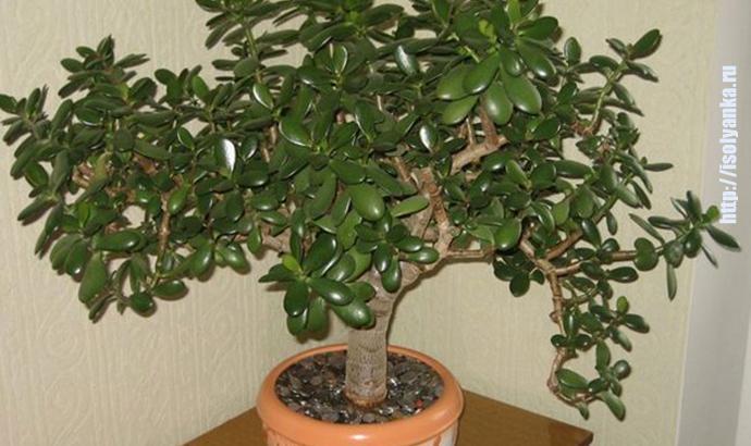 Как правильно посадить денежное дерево, чтобы в доме денежки водились! | 1