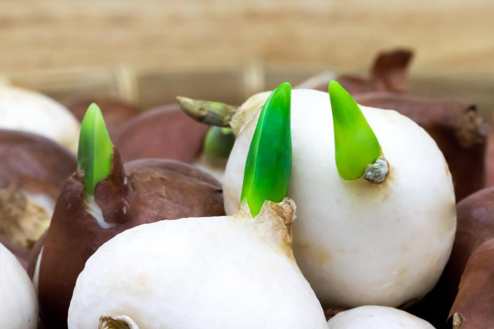 Как вырастить тюльпаны на подоконнике без грунта | 2