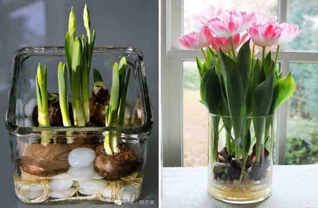 Как вырастить тюльпаны на подоконнике без грунта | 3